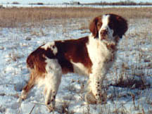 a proud Brittany Spaniel