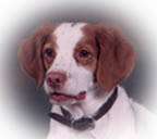 Pride, a very cute Brittany with pleasing personality