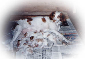 mother resting comfortably with Brittany puppies