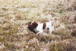 Brittany Ruffwood Stoney retrieving a pheasant